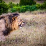 lion-predator-big-cat-cat-162093